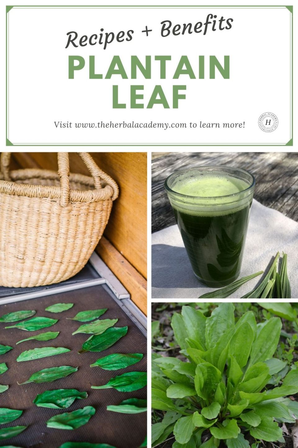 Plantain Leaf Benefits and Recipes | Herbal Academy | Learn the many benefits of plantain leaf (Plantago spp.) and how to use it in two simple recipes, a juice and a face mask.