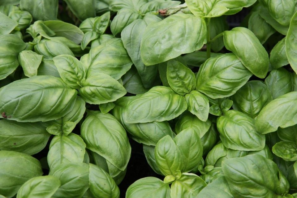 Basil was commonly used in African American herbalism.