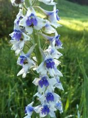 Tall Larkspur (Delphinium occidentale, Ranunculaceae) Gallatin National Forest, MT