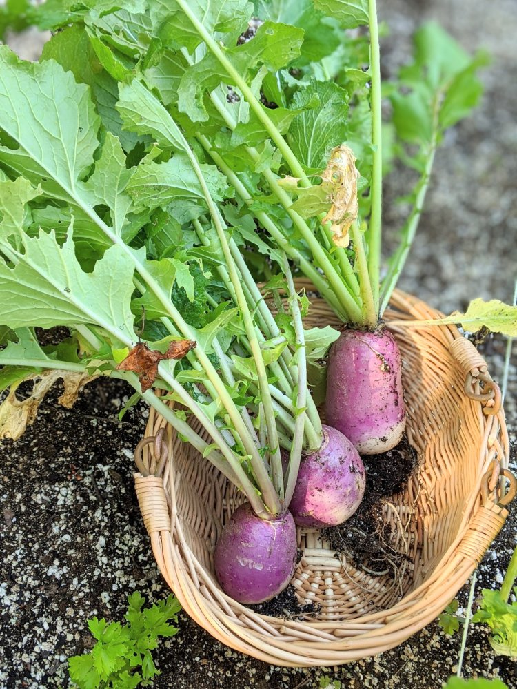 homegrown diy gardening recipes with turnips from your garden