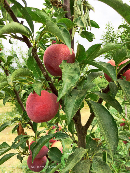 luscious peaches on the trees; A day at Frog Hollow Farm, tree ripened fruits © 2017 Jane Bonacci, The Heritage Cook