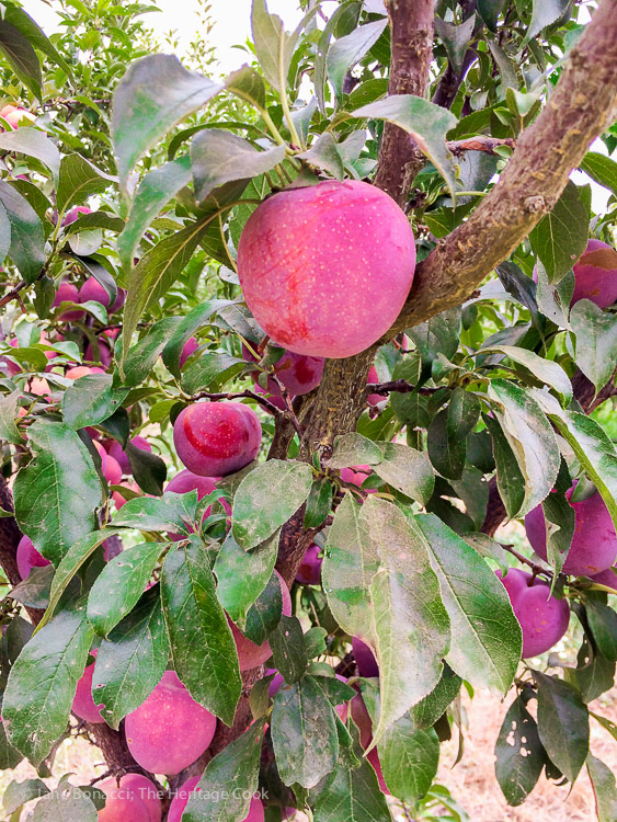 A day at Frog Hollow Farm, tree ripened fruits © 2017 Jane Bonacci, The Heritage Cook