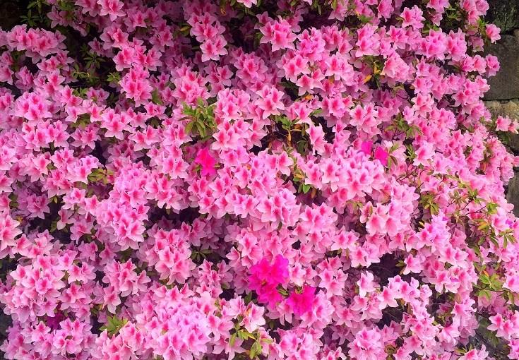 Bloom : Azalea