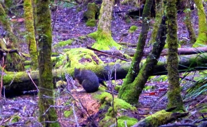 Life Of Others : Tasmanian Pademelon