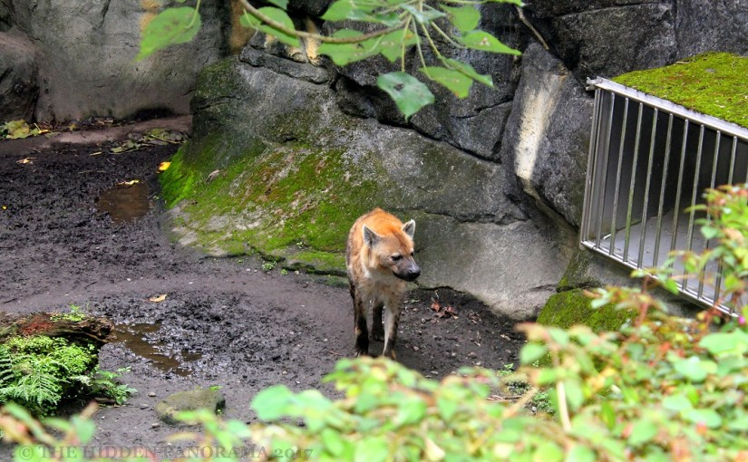 Discovery : Taipei Zoo – Spotted Hyena