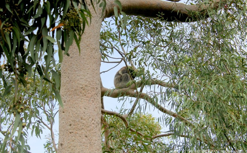 Life Of Others : Koalas