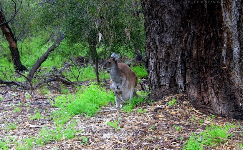 Life Of Others : Western Grey Kangaroo