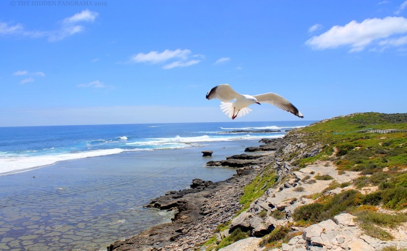 Life Of Others : Cape Vlamingh, Rottnest – Silver Gull