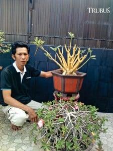 Indra menekuni adenium sejak 2007.