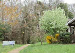 Forsythia and Pear tree