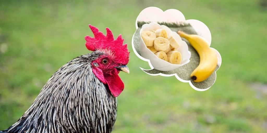 can chickens eat banana