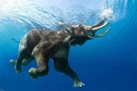 A Swimming Elephant