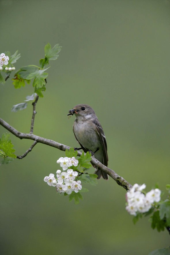 Pied flycatcher stock picture
