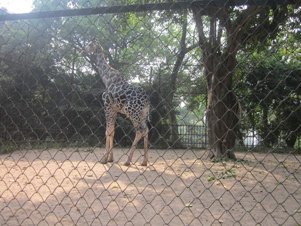 alipore zoo giraffe