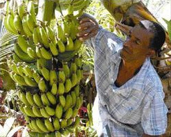 The corrupt banana industry