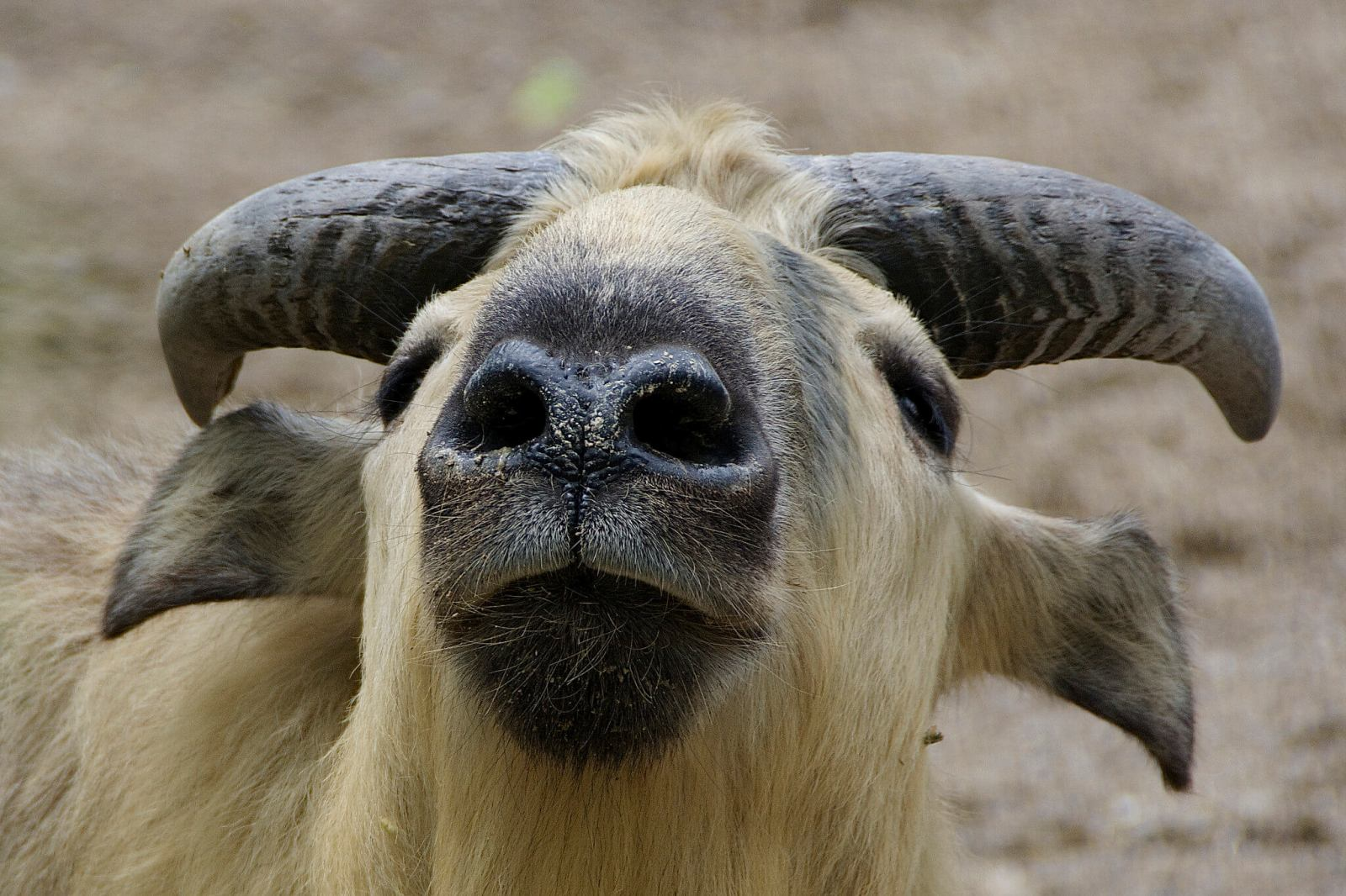 The strange-looking Takin is Bhutan's National Animal, just one of the many strange things you do not know about Bhutan
