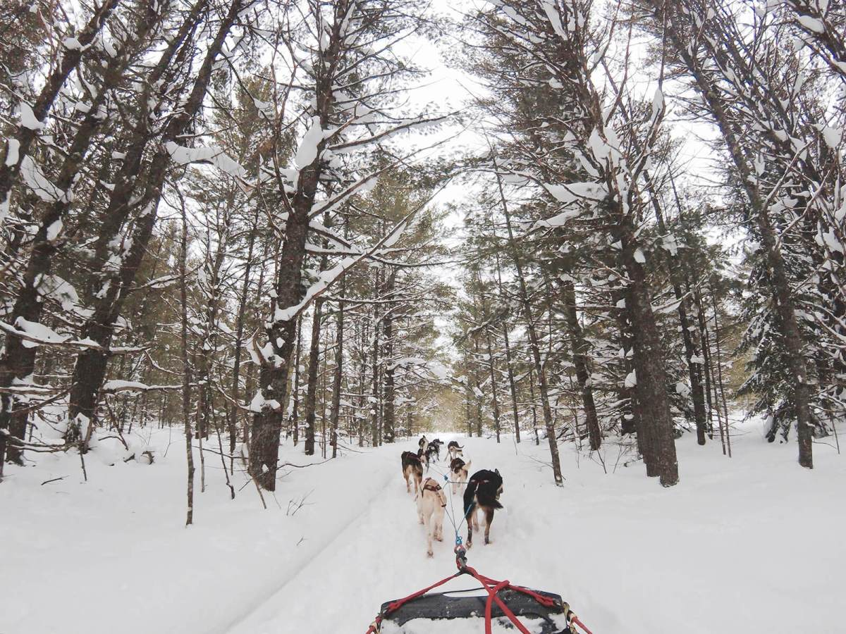 Dogsledding in British Columbia, Canada, in the winter with the cold wind in our face