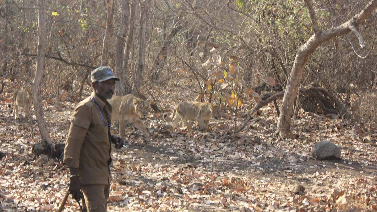 Forest Guard with lion family at Gir Forest in Gujarat, India