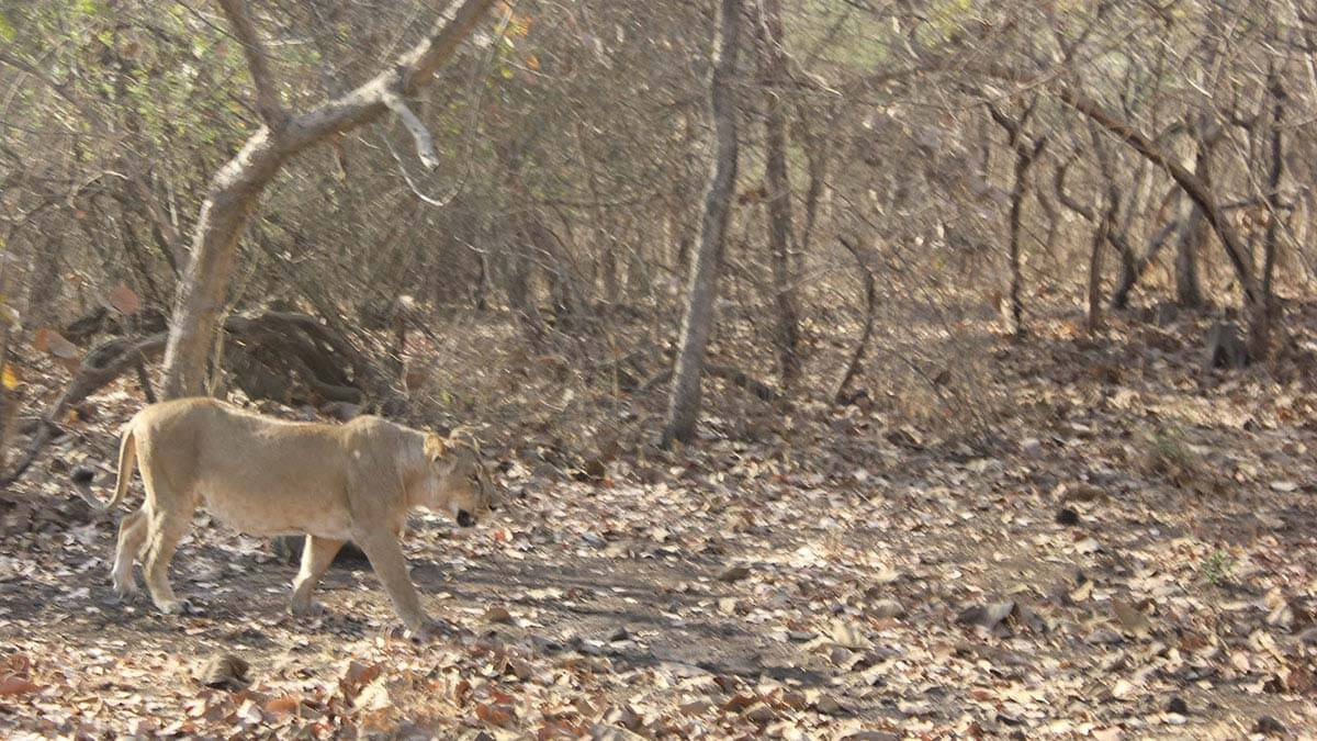 The Asiatic Lioness at Gir Forest, Gujarat, India