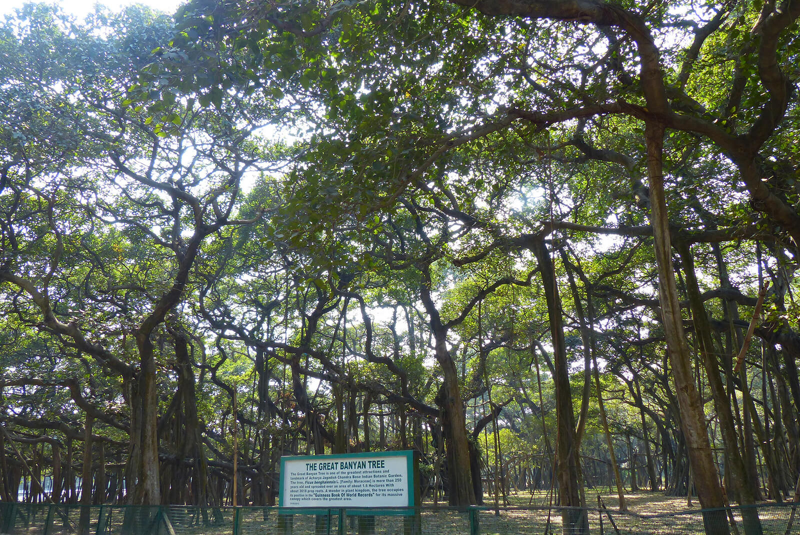 The Great Banyan Tree is not the world's largest tree but the second largest -- another one of the unique and offbeat Kolkata activities