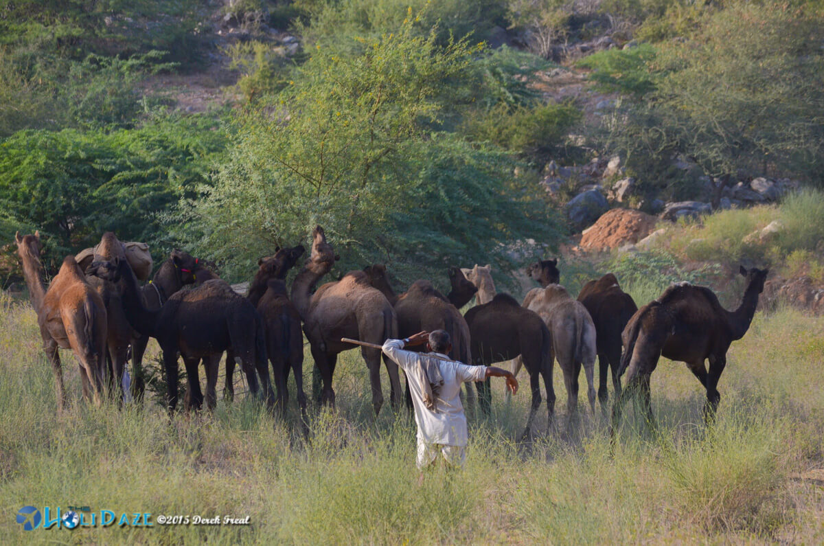 Camels graze at one of the very few green spots around the Pushkar Camel Fair 2015
