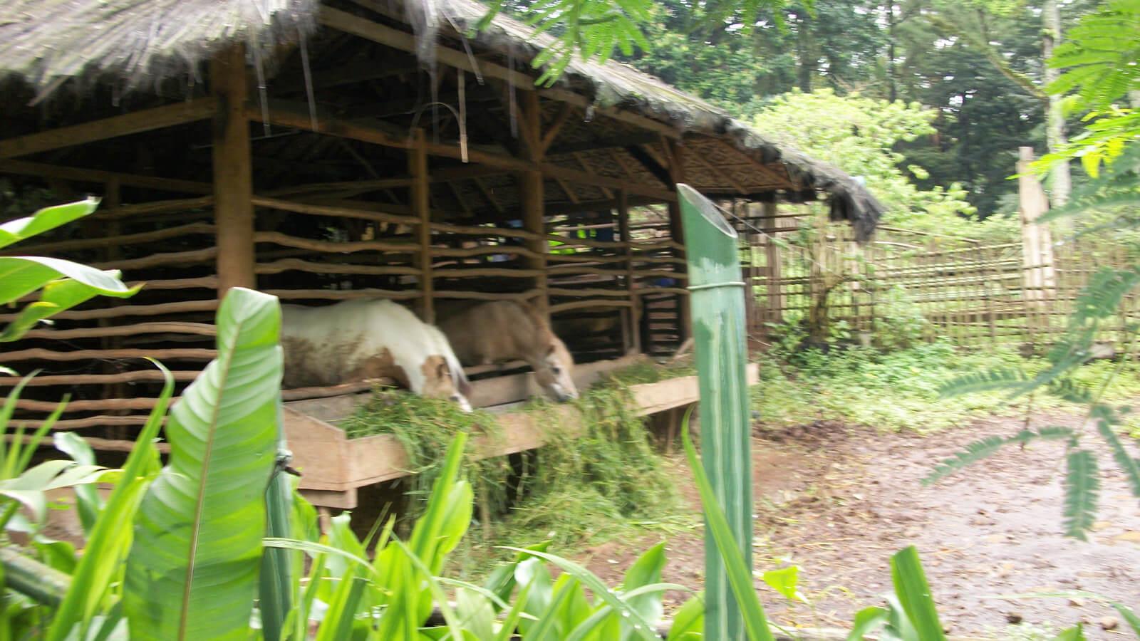 Horses at Kebun Binatang Bandung Zoo
