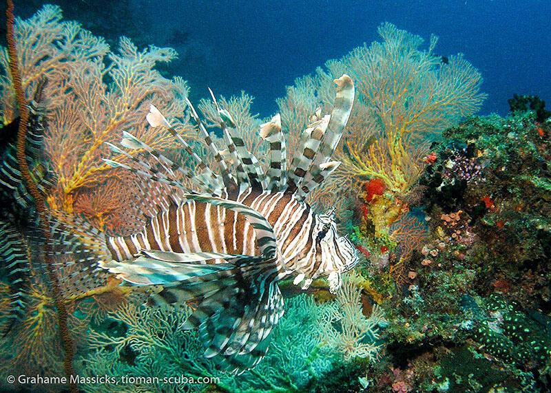 Lion fish at Tioman Island