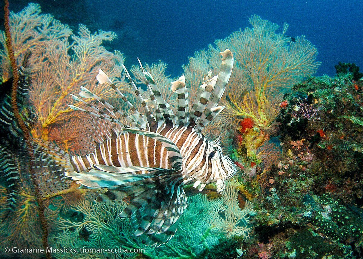 Lion fish at Tioman Island