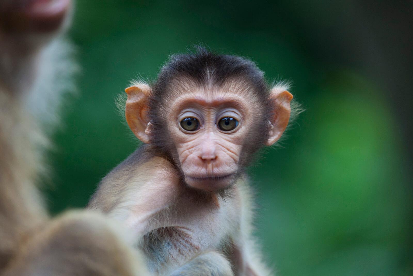 Sepilok Orang-Utan Sanctuary in Malaysian Borneo