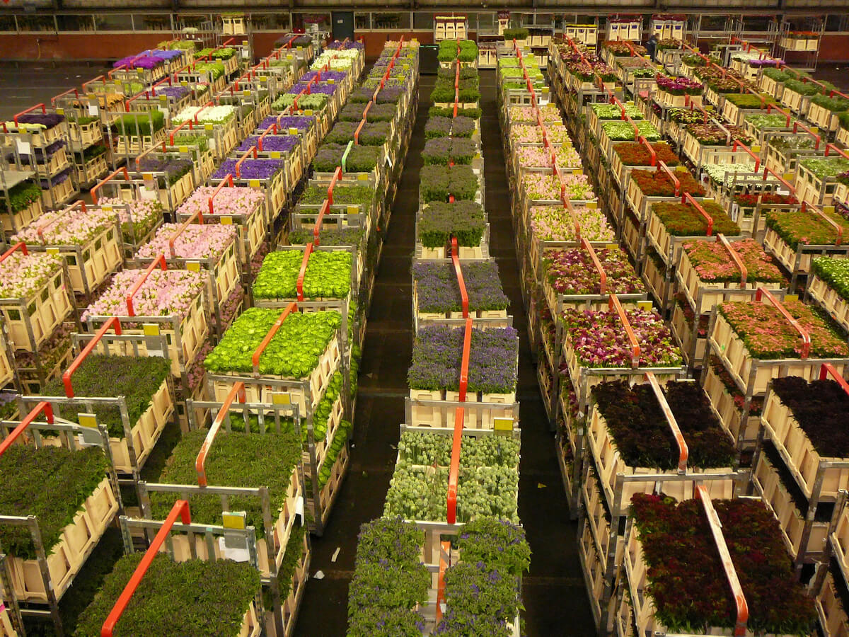 Aalsmeer Flower Auction in the Netherlands is definitely one of the most unique and offbeat Amsterdam activities