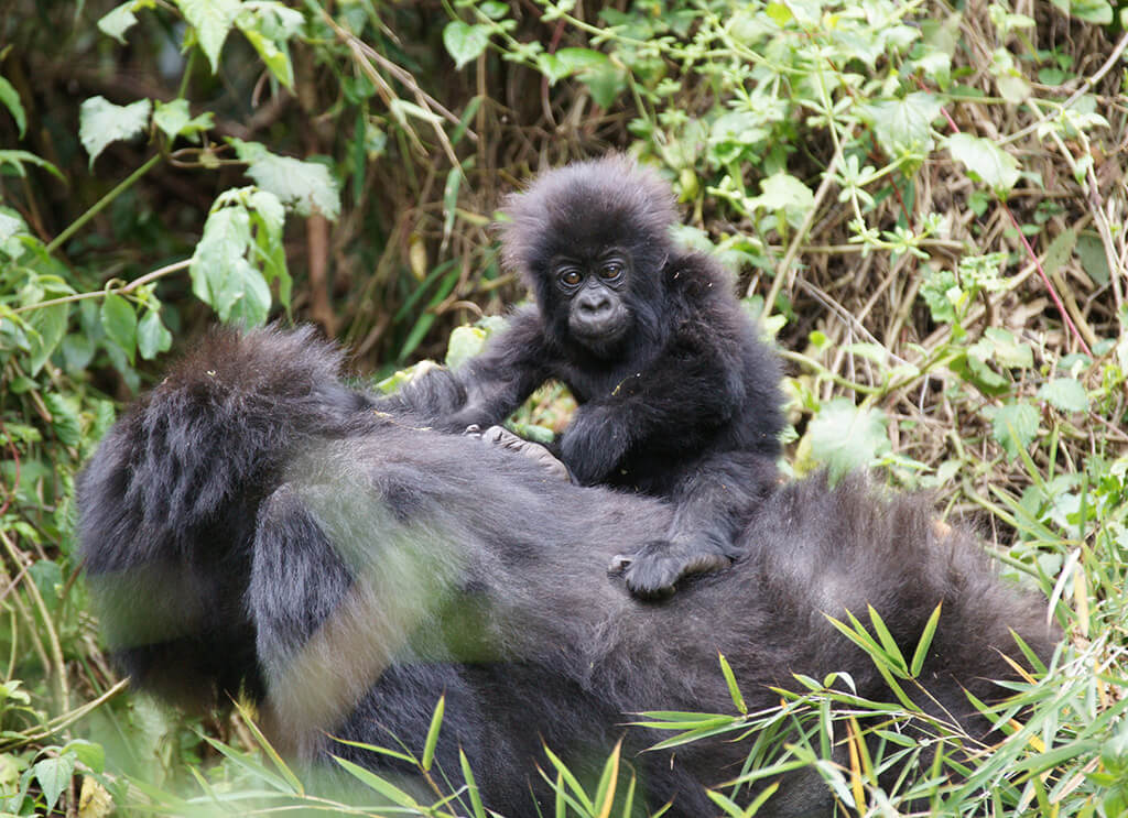 Mother mountain gorilla with baby gorilla in Rwanda