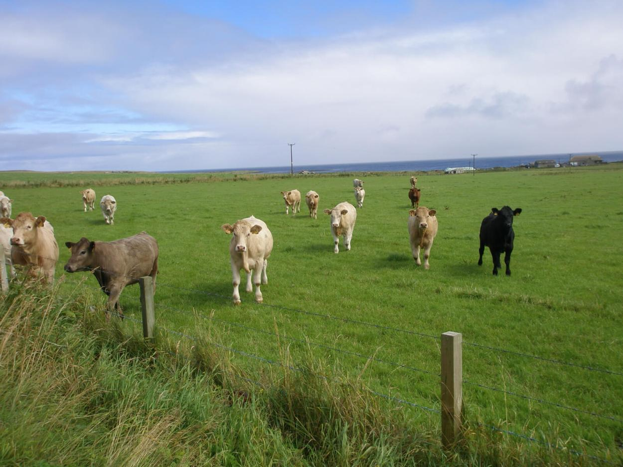After the world's shortest flight, be sure to wander around Papa Westray and say hi to the friendly cows