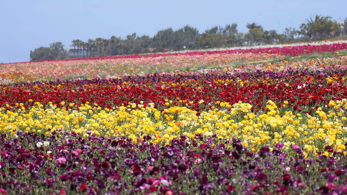 The beautiful Flower Fields at Carlsbad, California