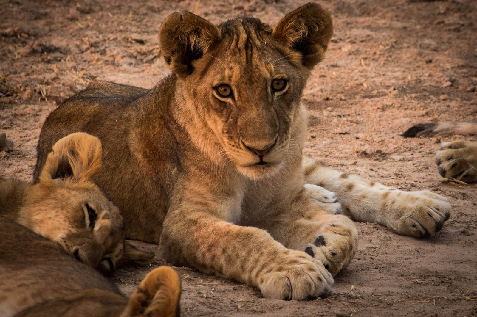 About to walk with lions -- and lion cubs -- in Zambia, Africa