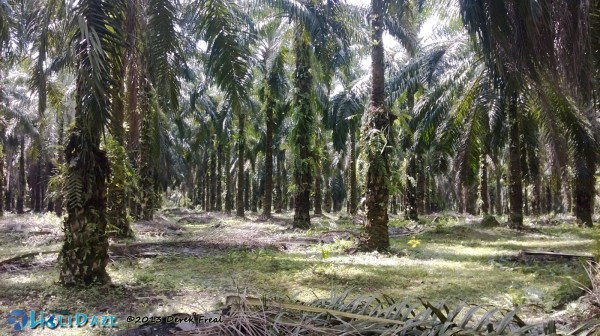 Coconut Plantation In Siak