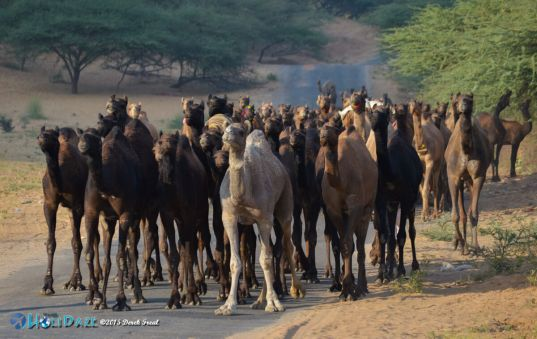 Camels on the road to the Pushkar Camel Fair 2015
