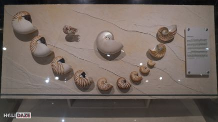 Collection of Mollusk shells at the Bangkok Seashell Museum in Thailand