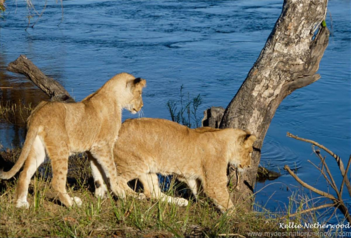 Walk with lions and lion cubs in Zambia, Africa