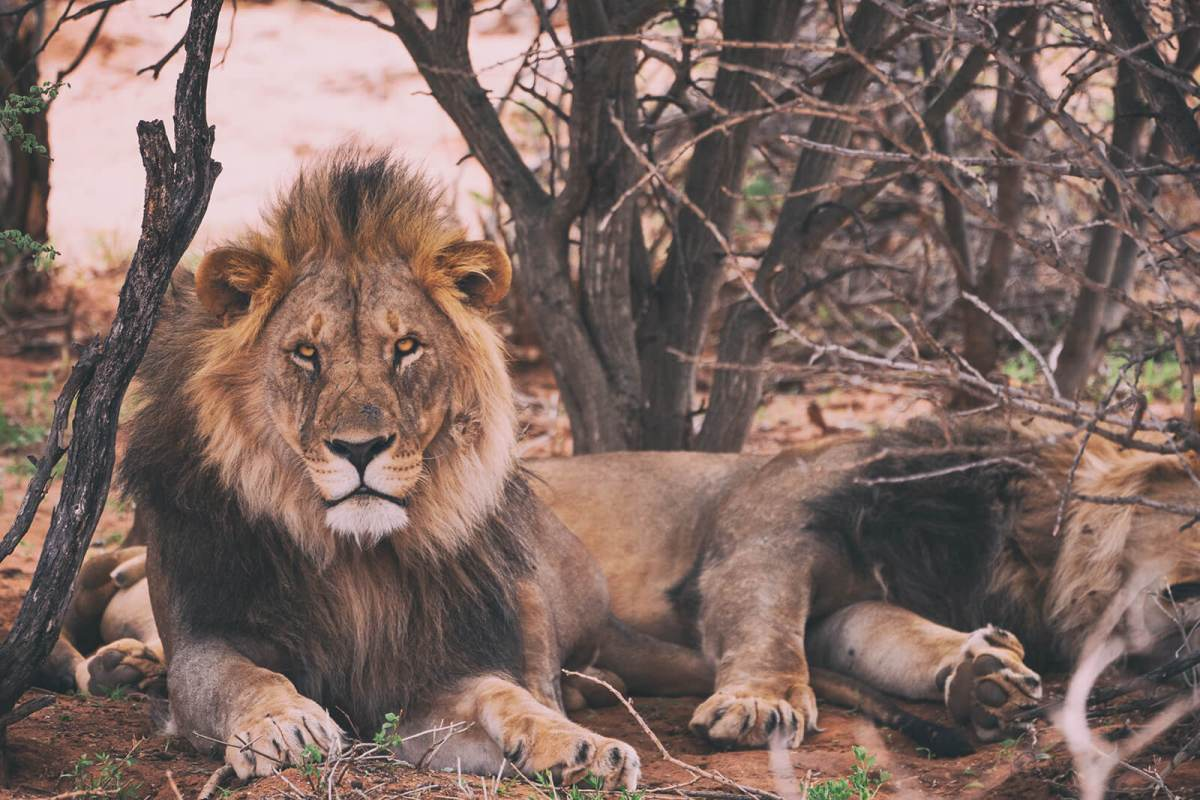 Lion at Gir Forest in Gujarat, India