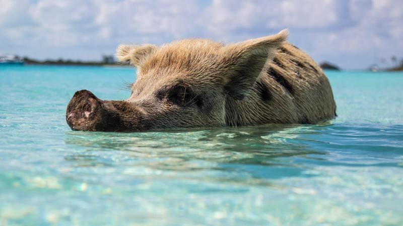 Bahamas pig swimming near the beach