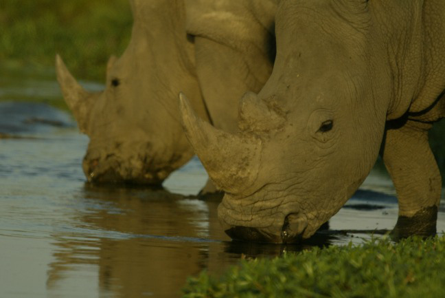 African rhinos drinking water