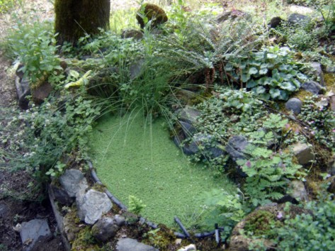 Azolla in tiny pond