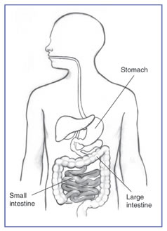 digestive_tract