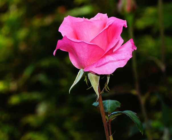 colorful pink beauty rose