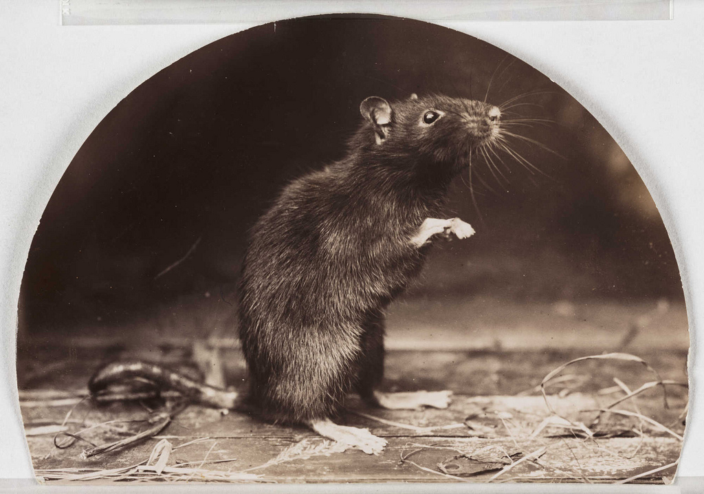https://i0.wp.com/thehollowearthinsider.com/blog/wp-content/uploads/2013/04/Old-English-Black-Rat-Flickr-Photo-Sharing-Public-Domain.jpg
