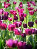 tulipa-366661_1280