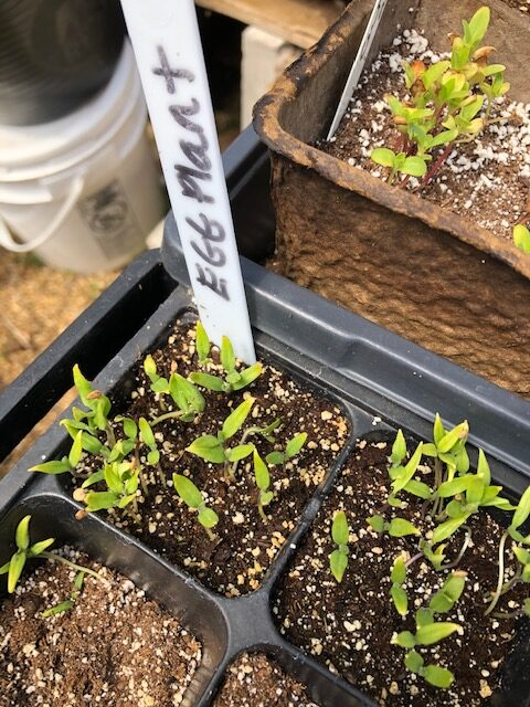 germinated eggplant seedlings