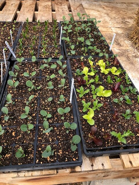 seedlings potted up and ready to grow