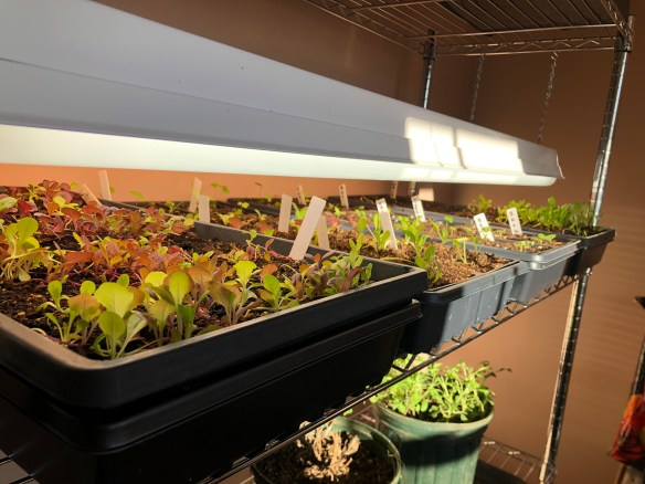 Grow lights 2 inches above seedlings
