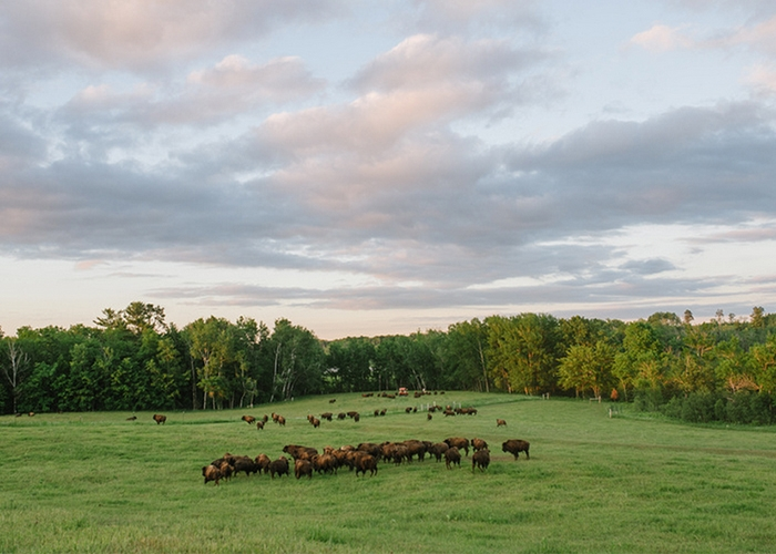 why grassfed bison is better